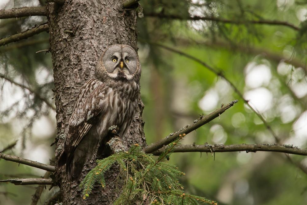 Great Grey Owl, Belarus. May 2015