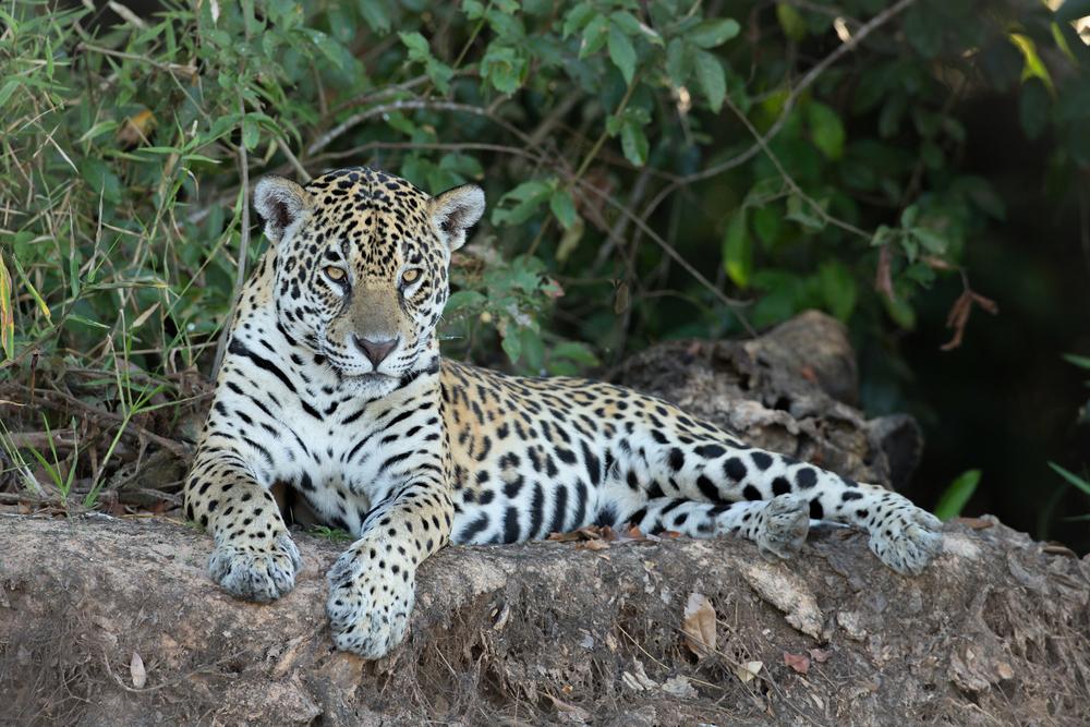 Jaguar, Rio San Laurenço, Pantanal