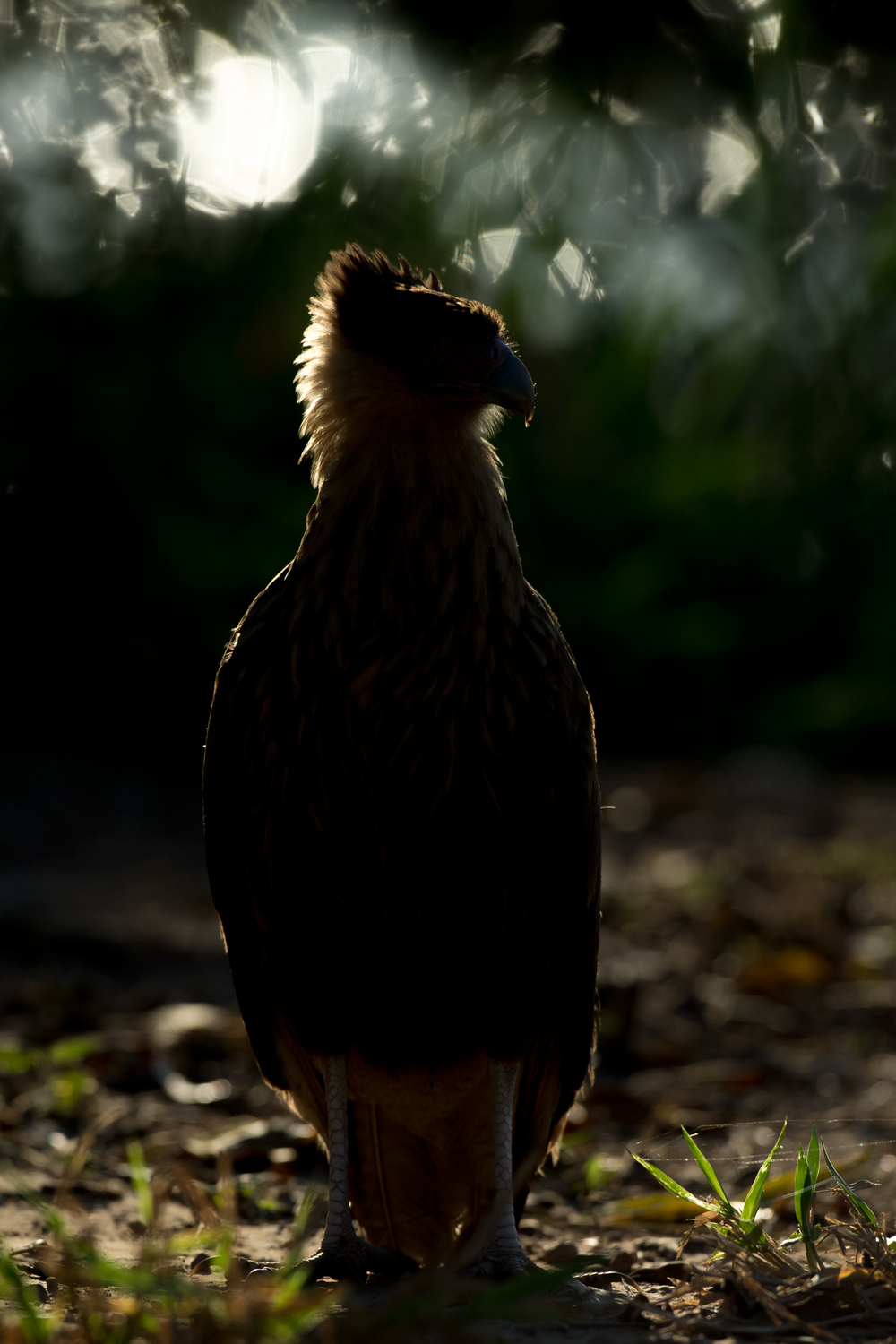 Southern Crested Caracara, Campo Jofre, August 2016