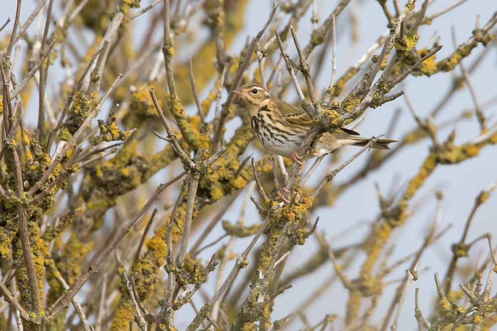 Olive-backed Pipit, Middle Camp.