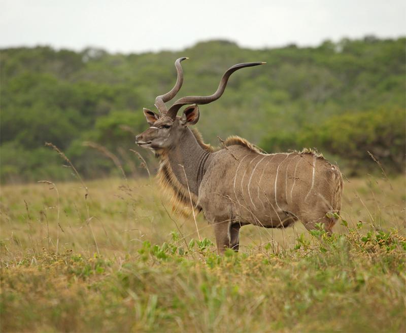 Kudu, Oct 2010