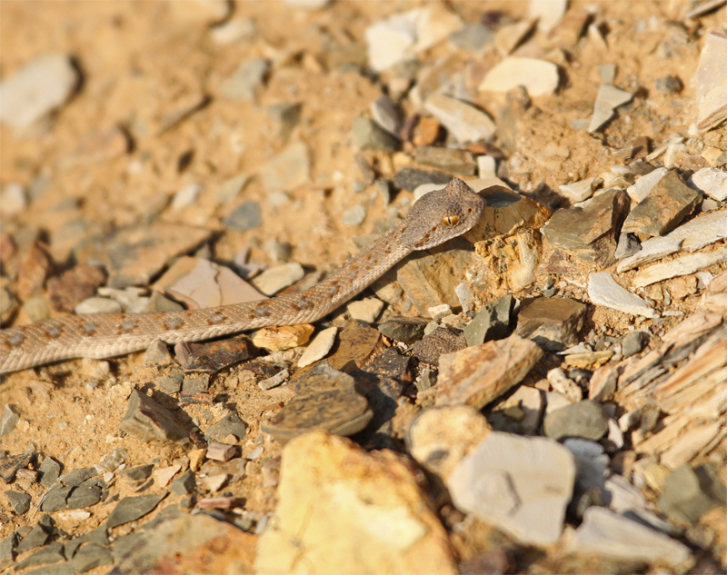 Horned Viper, Little Karoo Oct 2010
