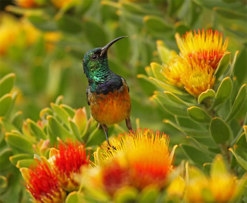 Orange-breasted Sunbird, Cape Town Oct 2010