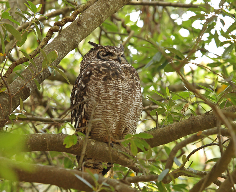 Spotted Eagle Owl, Cape Town Oct 2010