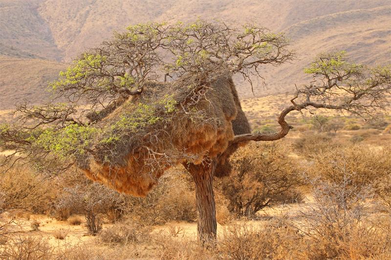 Sociable Weaver, Kalahari Desert Oct 2010