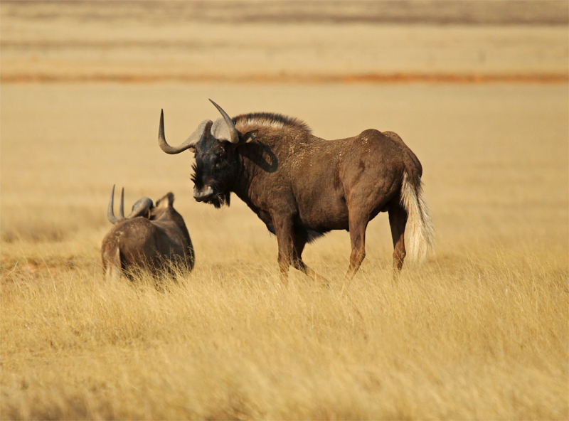 White-tailed Gnu, Oct 2010
