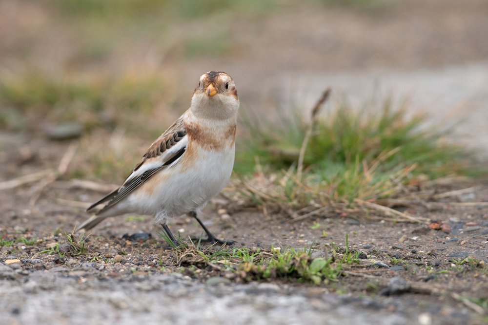 Snow Bunting, Kilnsea Caravan Park - I hardly dropped below 3200ISO in the gloom today.