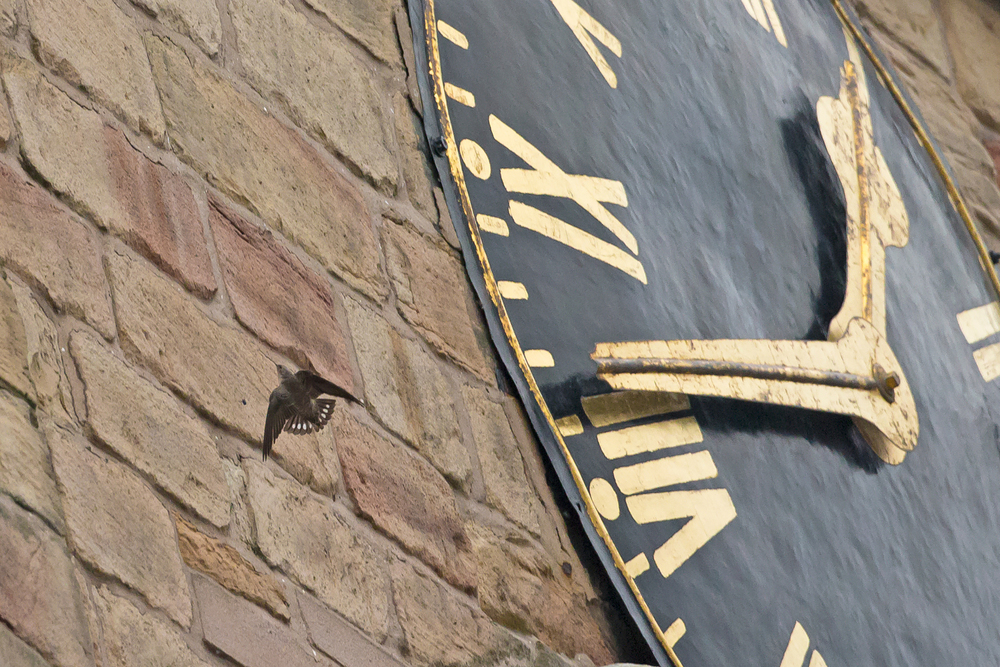 Eurasian Crag Martin, Church of St Mary and All Saints, Chesterfield. What time is it?