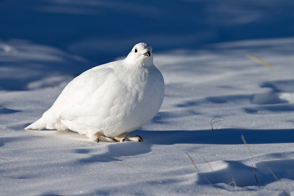 White-tailed Ptarmigan, Guanella Pass, CO.