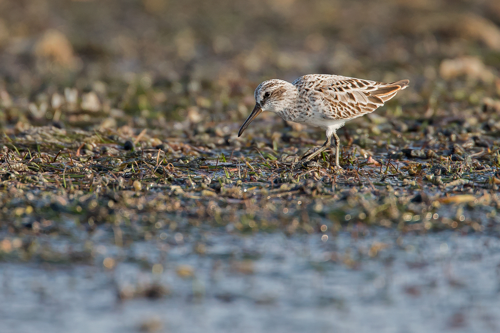Broad-billed Sandpiper, Barr al Hikman Oct 2015