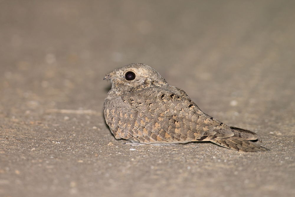 Egyptian Nightjar, Bahrain, Nov 2015