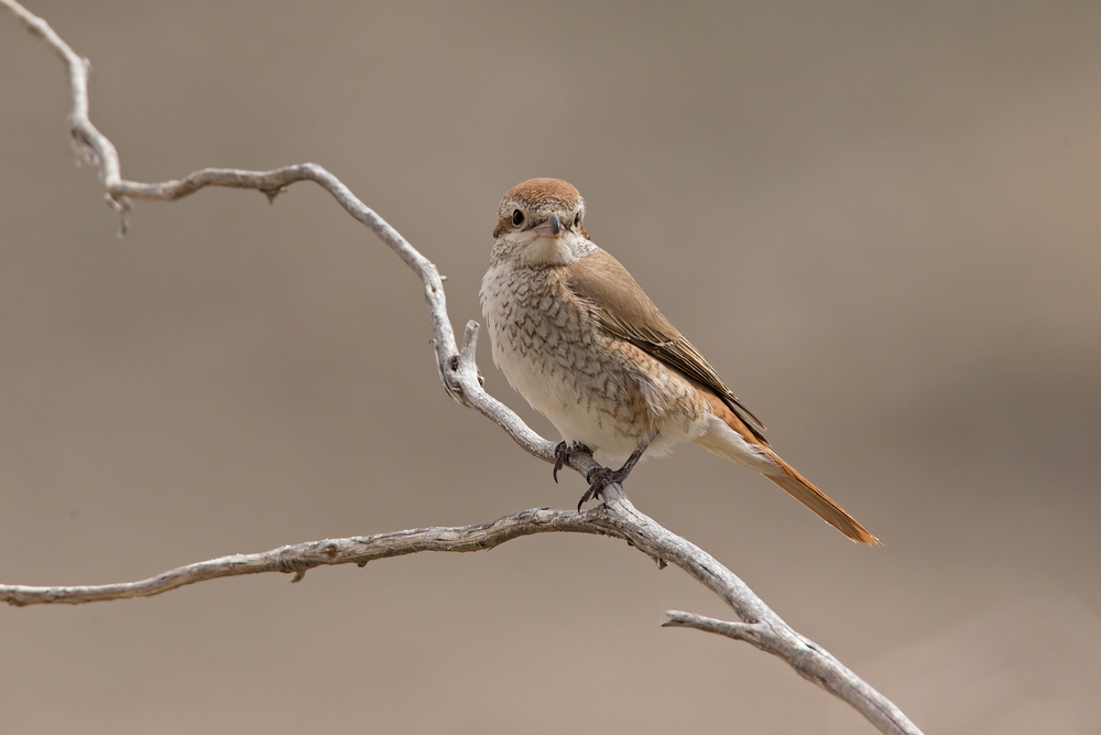 Turkestan Shrike, Sayq Plateau, Oct 2015