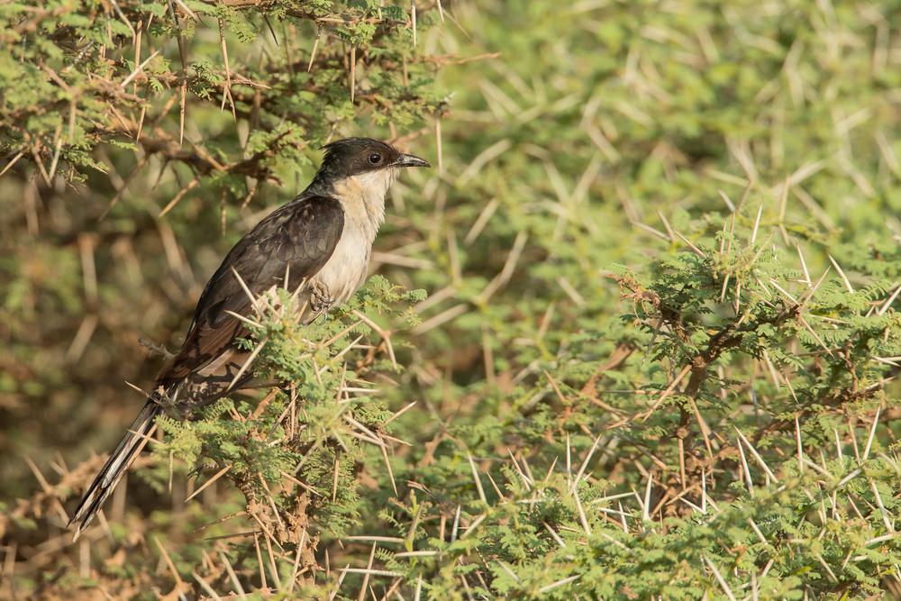 Pied Cuckoo, Khor Rori, Oman Nov 2015