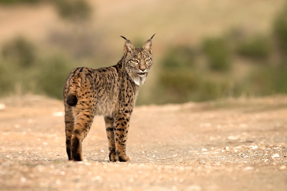 Iberian Lynx, Sierra de Andújar, Spain. Dec 2015.