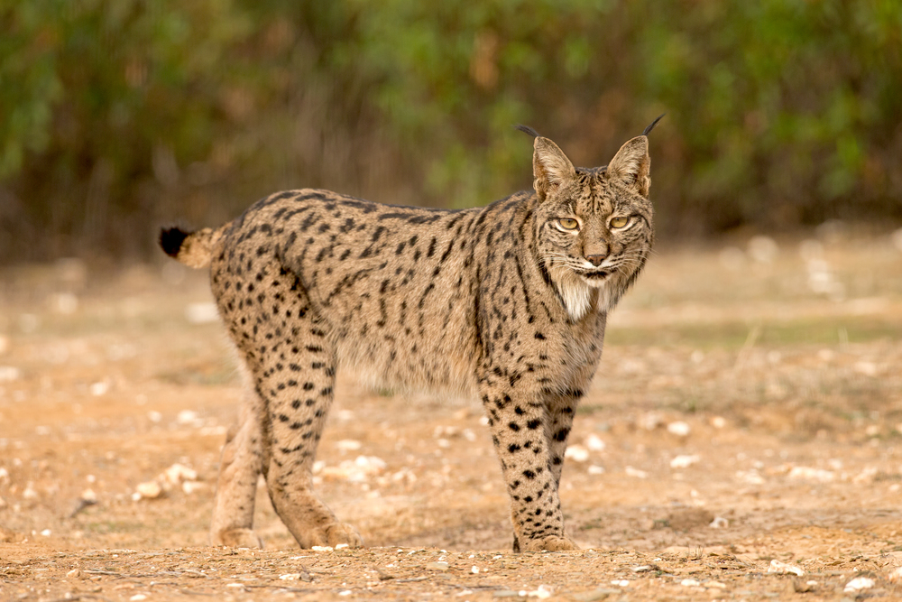 This is 'Guadiato' a male lynx known from the Cordoba area - he wandered c.70km to get to Puerto Bajo!