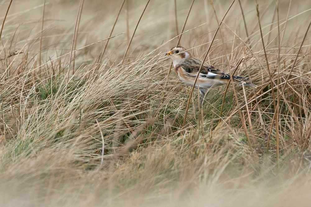 Snow Bunting, Pendle Hill Summit.