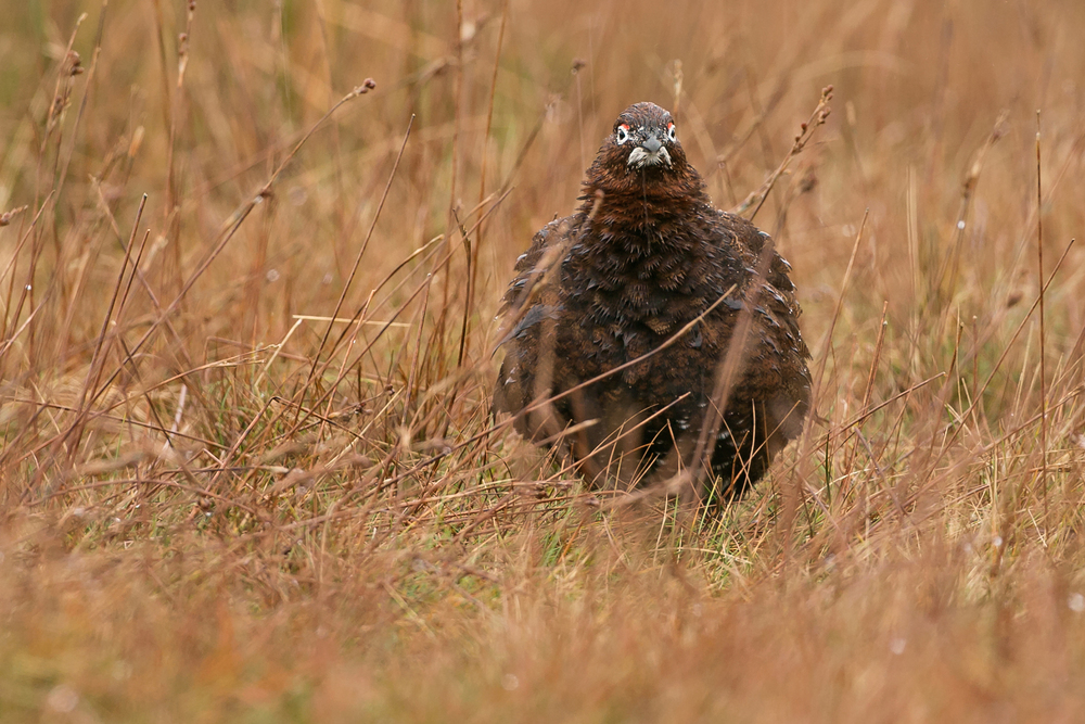 Red Grouse - we're probably not the only ones becoming weary of the endless rain this winter.