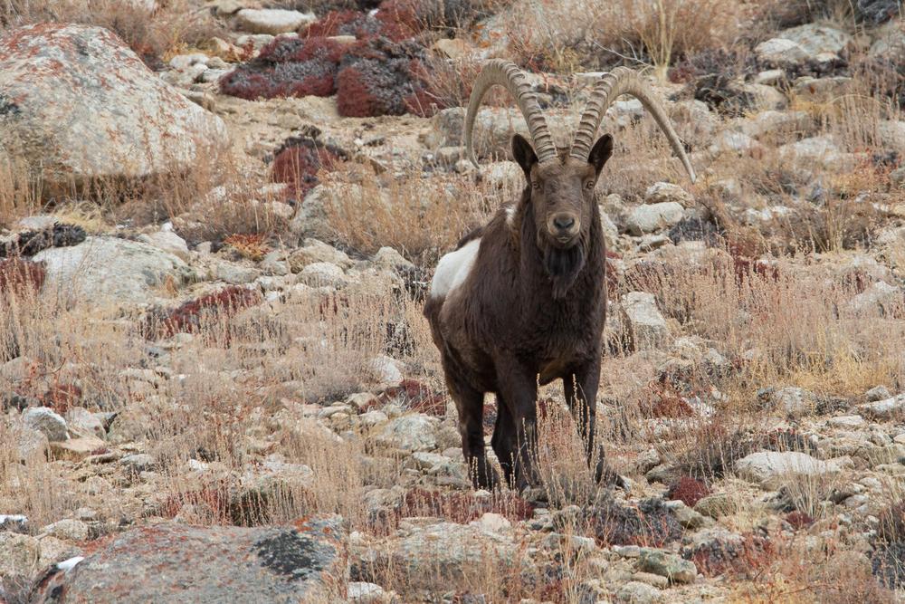Siberian Ibex, Ladakh March 2016