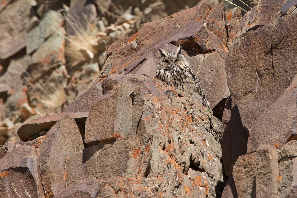 Eurasian Eagle Owl, Hemis NP Ladakh March 2016