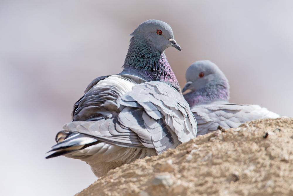 Hill Pigeon, Ladakh March 2016