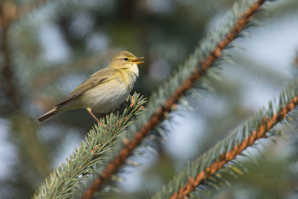 Willow Warbler singing in East Lancs
