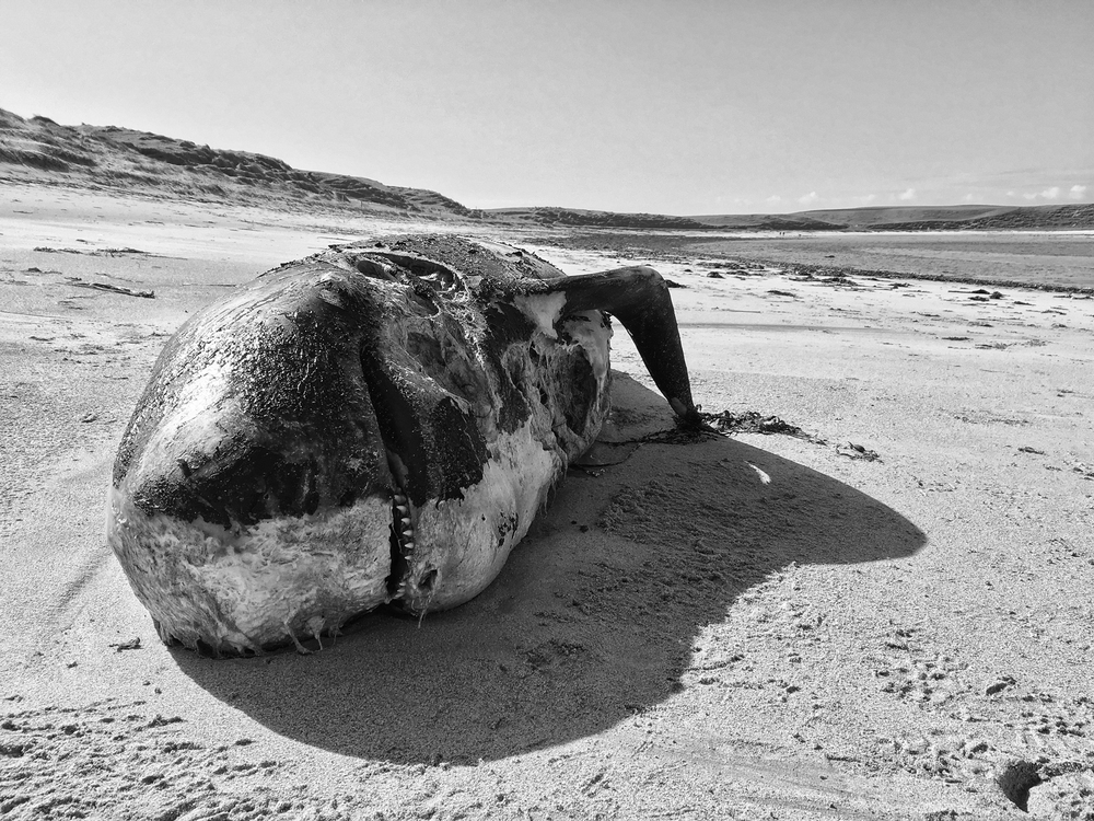 Dead whale, Balranald.
