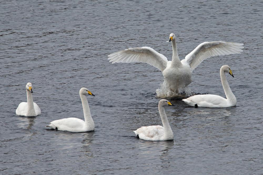 Whooper Swans, Stocks Reservoir.
