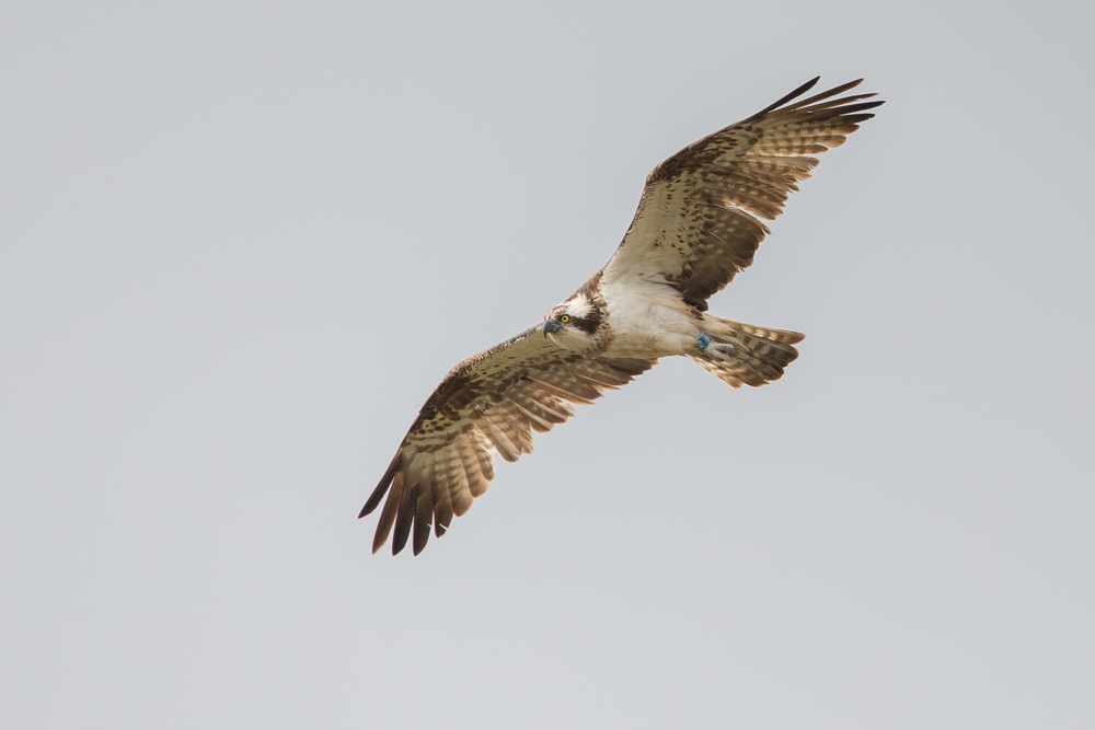 Western Osprey, Stocks Reservoir April 2016