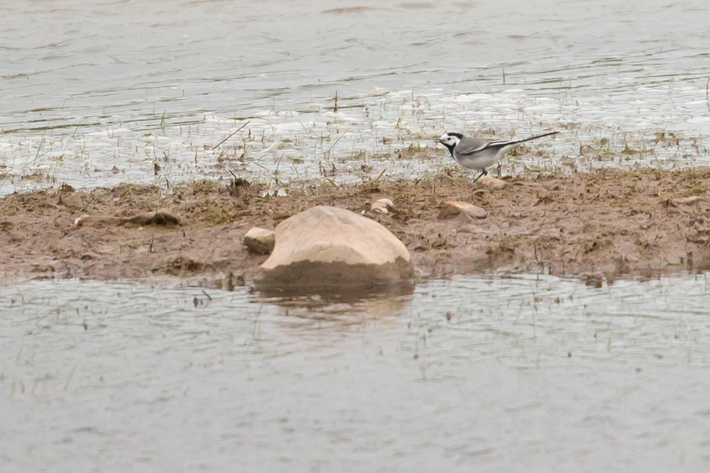 White Wagtail, Alston Wetland.