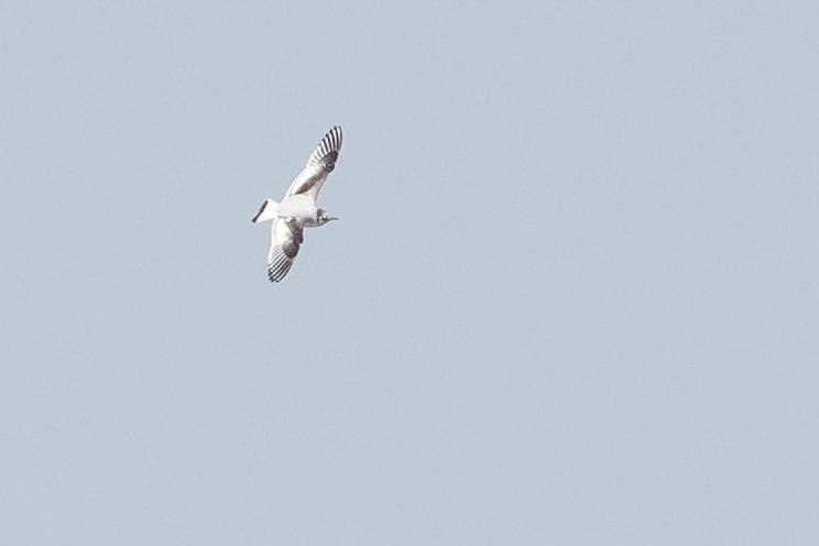 Little Gull (second calendar year), Stocks Reservoir.