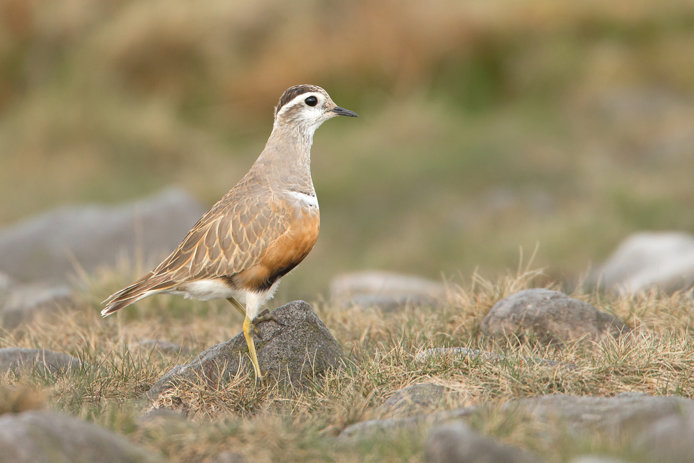 Eurasian Dotterel, Pendle Hill.