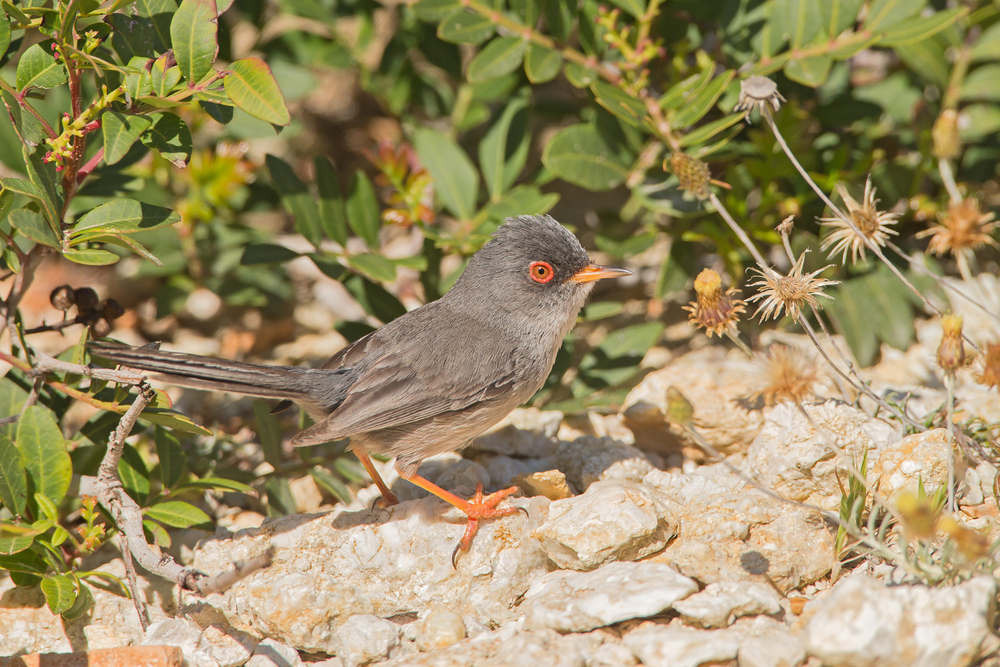 Balearic Warbler, Isla Cabrera, Mallorca May 2016