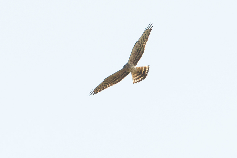 Montagu's Harrier (adult female), Blacktoft Sands RSPB Reserve.