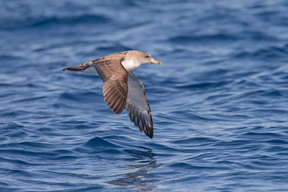 Scopoli's Shearwater, Isla de Cabrera, May 2016.