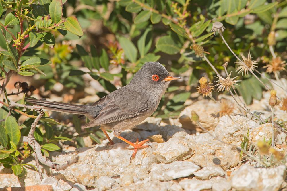 Balearic Warbler (male), Isla de Cabrera, May 2016.