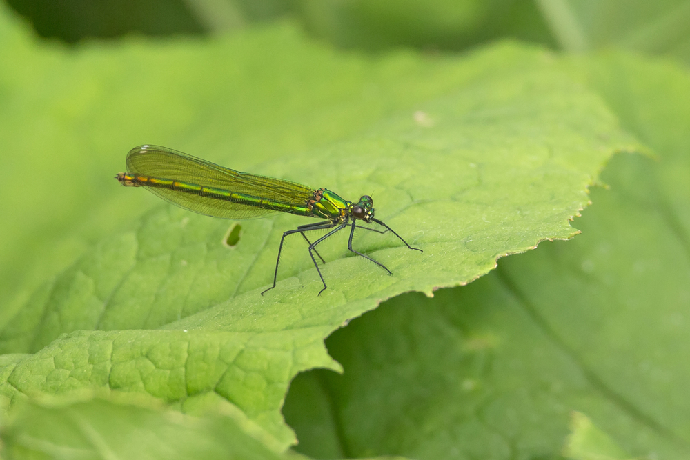 Banded Demoiselle (female), Ribble Valley.