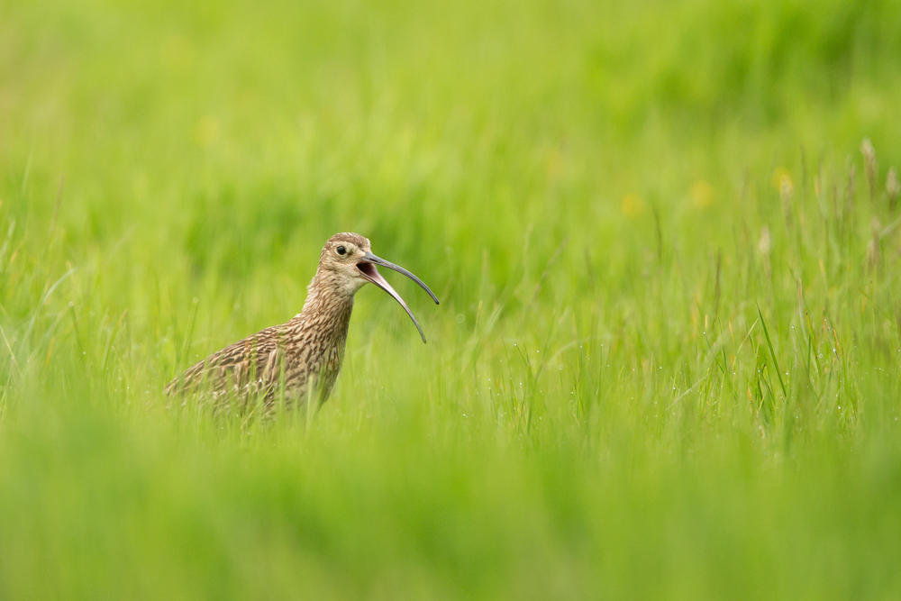 Eurasian Curlew, Kemple End, Lancashire June 2016
