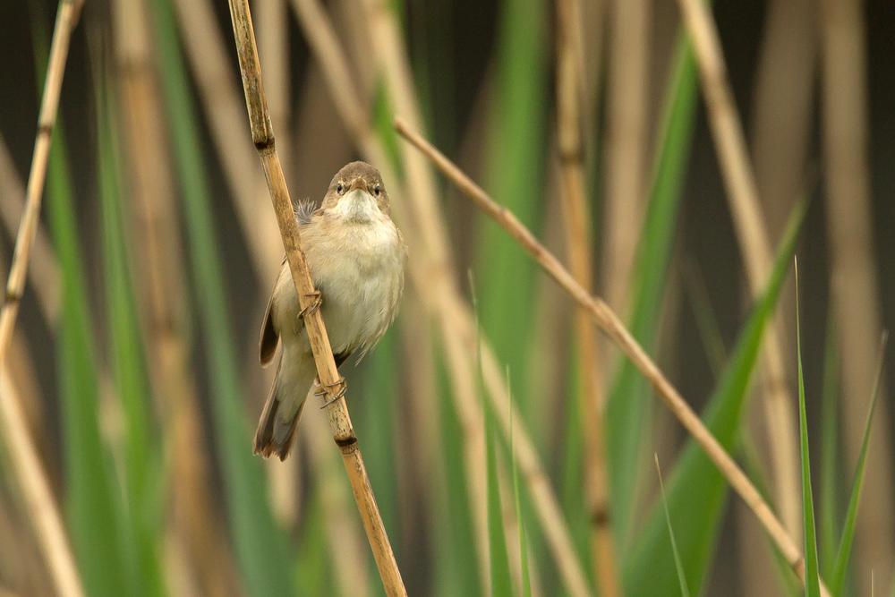 Eurasian Reed Warbler, East Lancs.