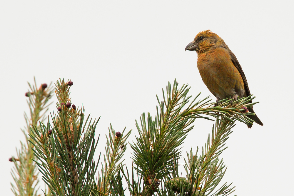 Common Crossbill, Gannow Fell