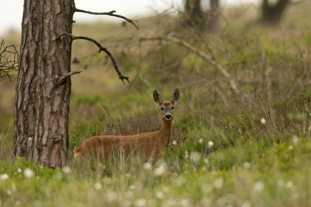 Western Roe Deer in cotton grass at Gannow Fell (you can just about see the ears of her fawn standing in front of her).