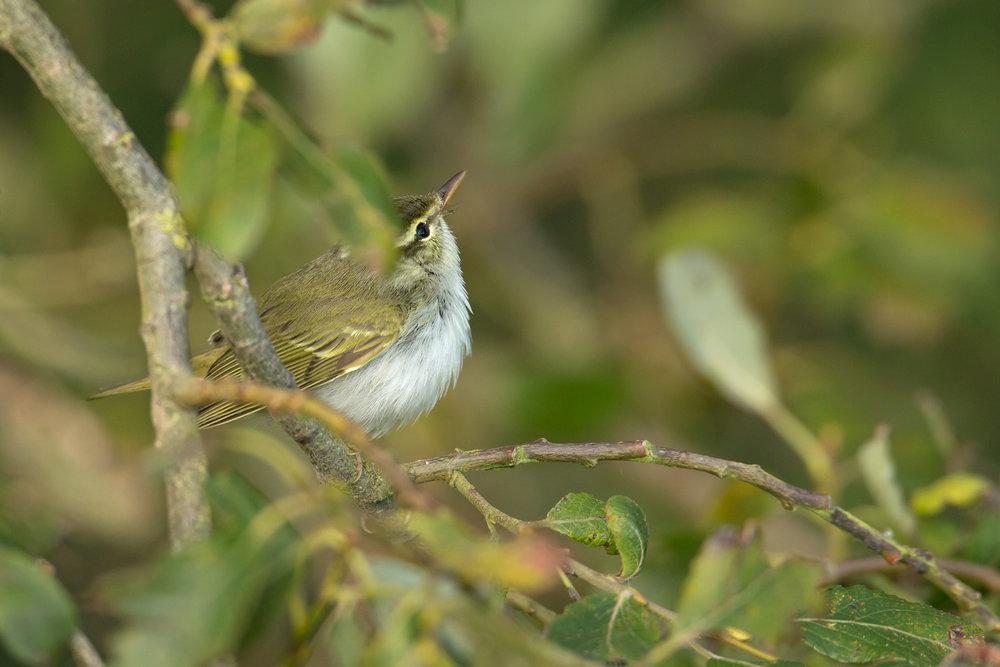 eastern_crowned_warbler.jpg