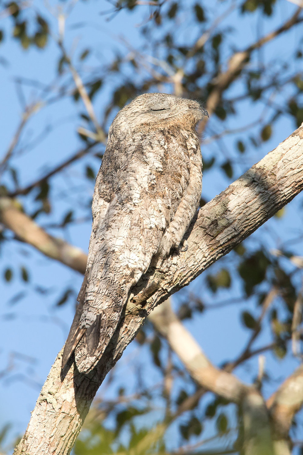 Great Potoo, Pouso Alegre August 2016