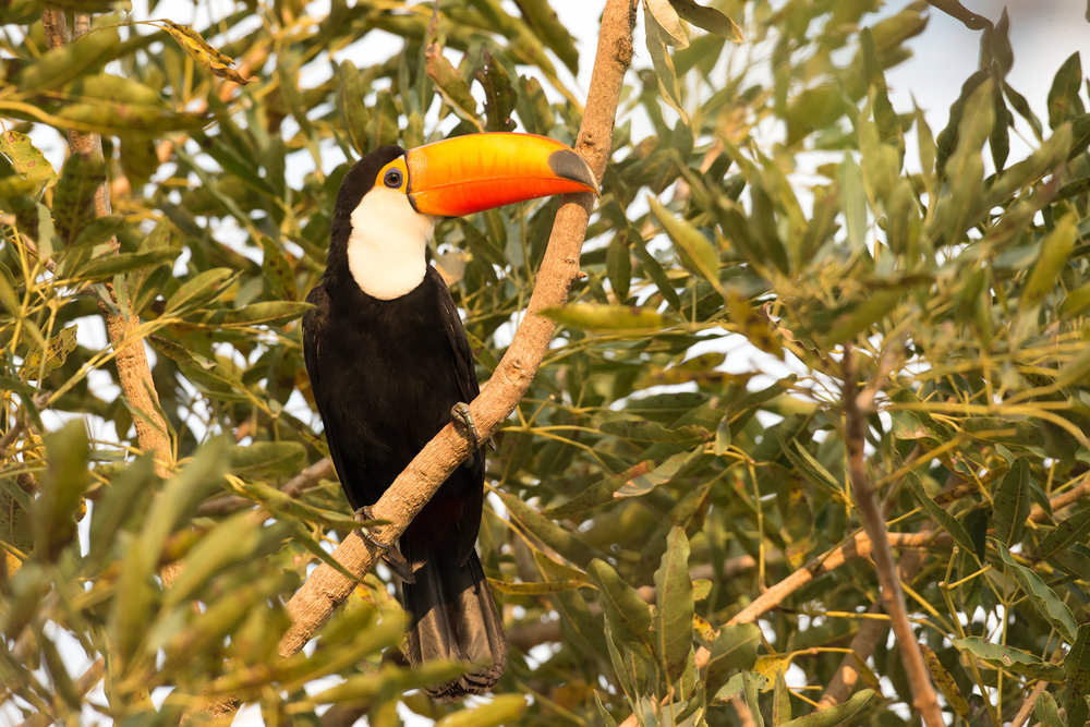 Toco Toucan, Porto Jofre August 2016