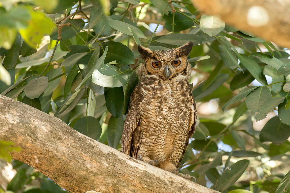Great Horned Owl, Pouso Alegre August 2016