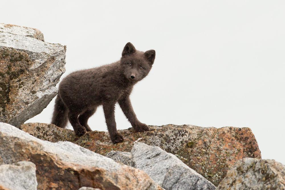 Arctic Fox, Fugelsongen July 2016