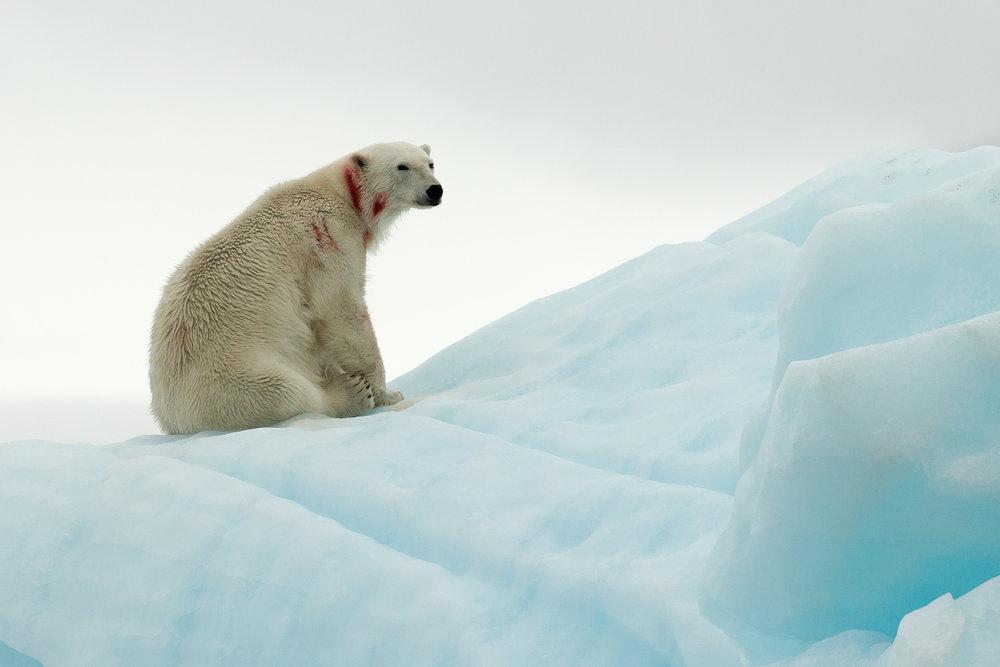 Polar Bear, Negribreen July 2016