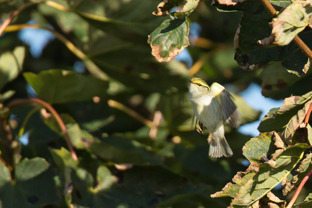 Pallas's Warbler, Easington