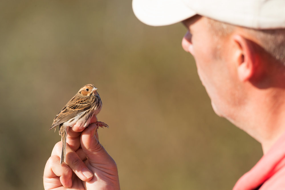 Adam with the Little Bunting at Spurn Point