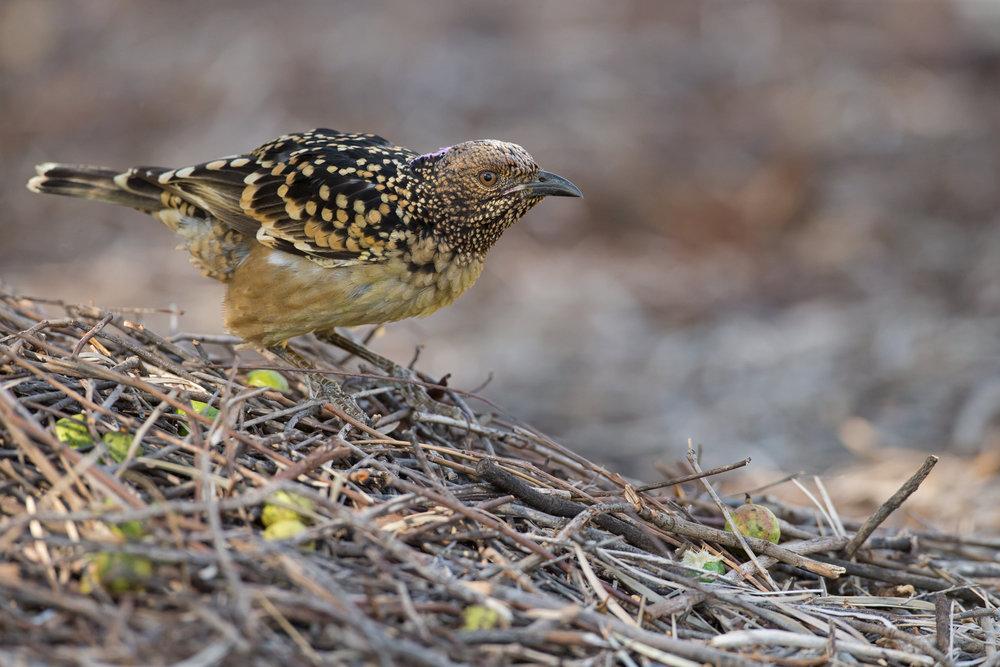 Western Bowerbird, Alice Springs Sep 2016