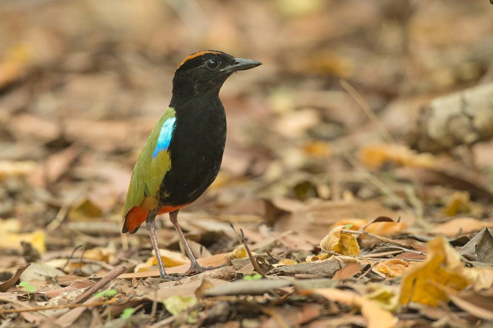 Rainbow Pitta, Darwin Sep 2016